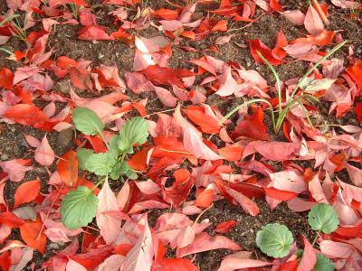 A red carpet of leaves
