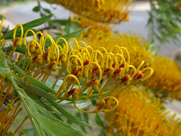 Immature Grevillea flower