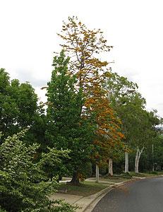 Grevillea tree