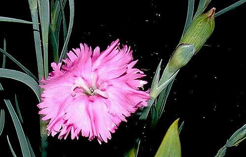 Mini Pink Carnations